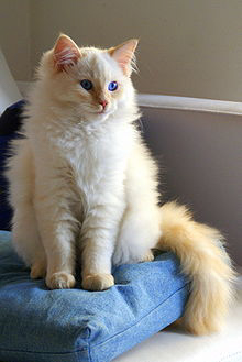220px-Flame_point_Ragdoll