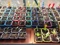 semis-graines-bio-varietes-de-tomates-anciennes-et-poivrons0