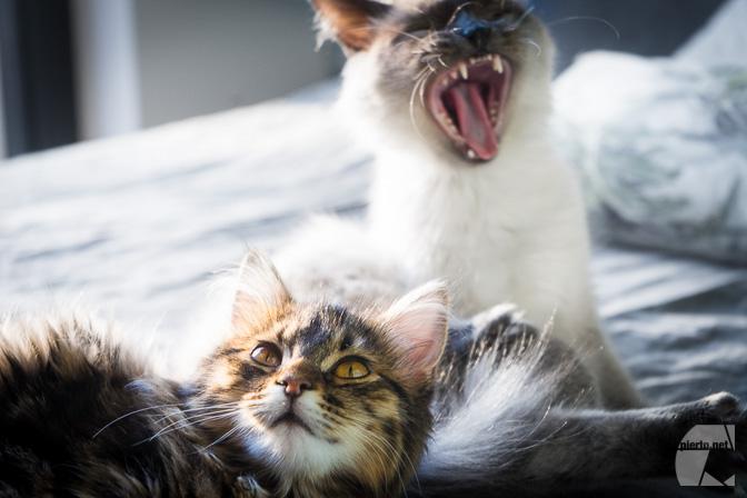 Deux chats bien domestiqués, l'un baille