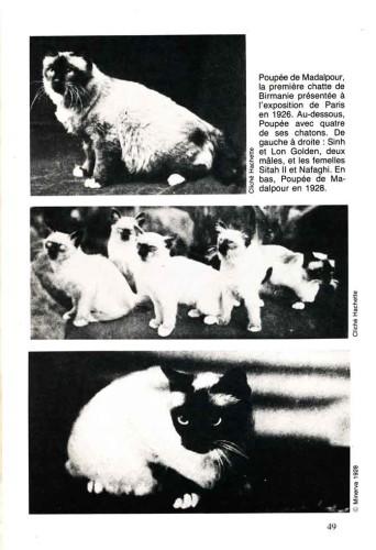 Les secrets du chat Sacré de Birmanie