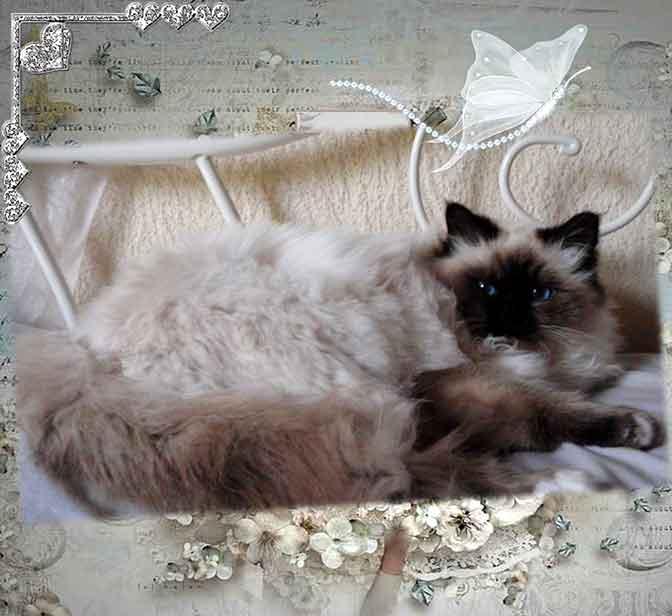 Guet-Apens, beau chat Sacré de Birmanie couleur seal point