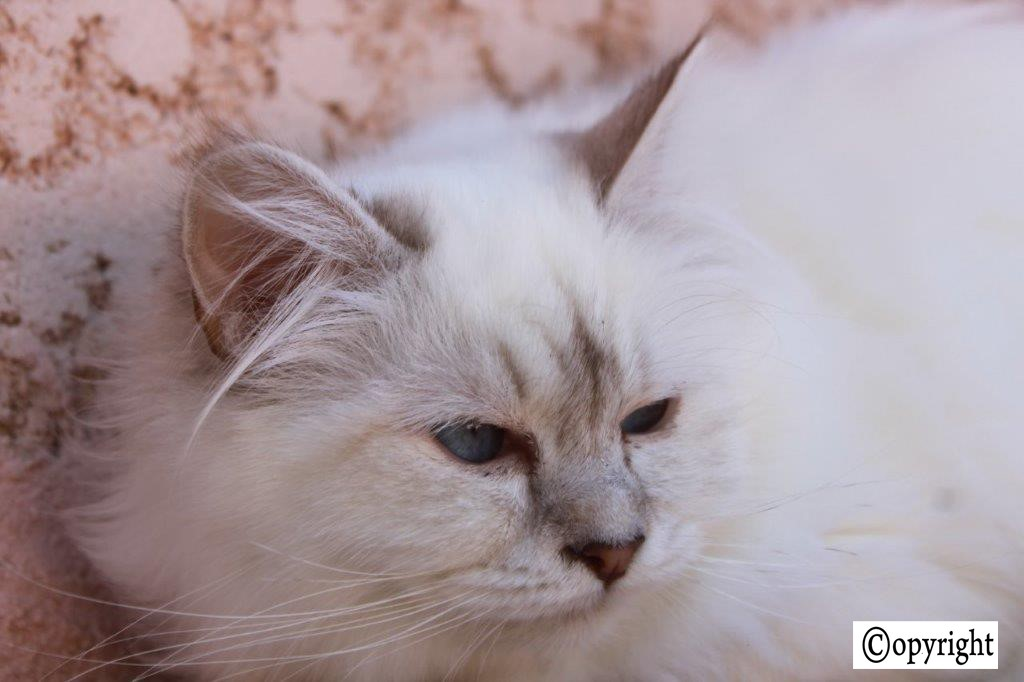 Lune Blanche des Clayes d'Eden Chocolat Silver Tabby Point
